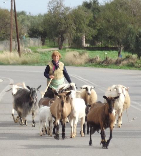 goats  at Vasalitsi