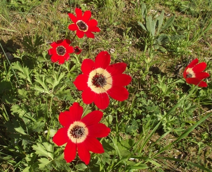 Anemone coronaria, Crown anemone