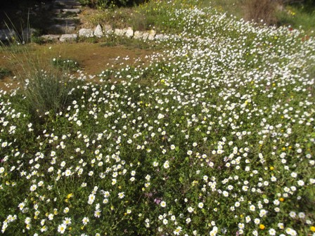 Anthemis chia, Greek chamomile