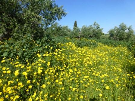 Ox-eye daisies by Gargarou Retreat