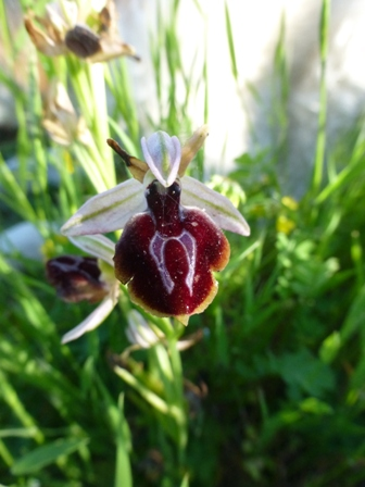 An ophrys orchid in the olive grove at Gargarou Retreat