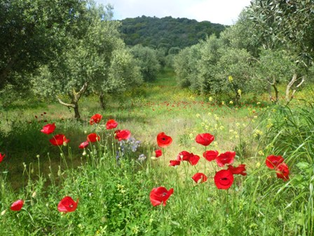 Poppies and olives by Chomatero