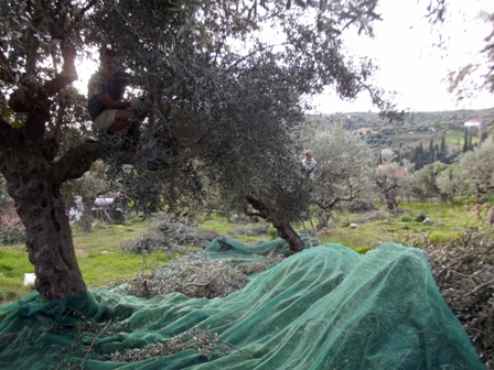 olive harvest Gargarou Retreat 2014