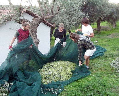 olive harvest Gargarou Retreat2014 5