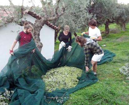 olive harvest Gargarou Retreat2014 5