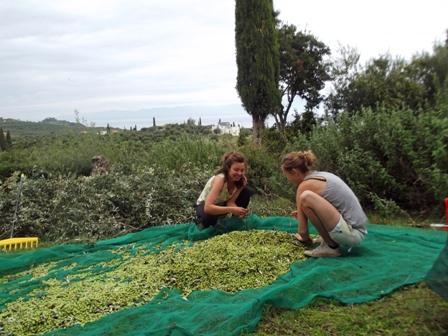 olive harvest Gargarou Retreat2014