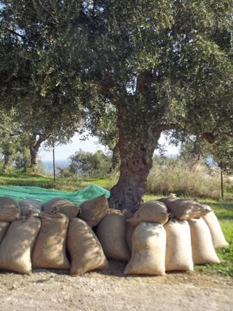 olive harvest 2014 9